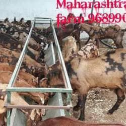 Maharashtra Goat Form, Karjat Ahmednagar - Goat Farming in