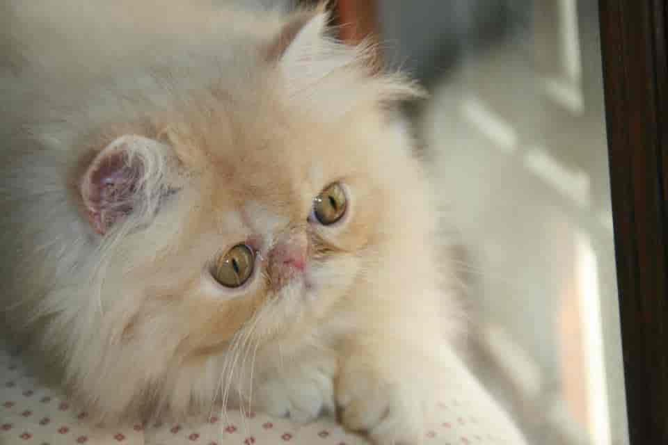Pamys Persians, Indiranagar - Pet Shops For Cat in Bangalore