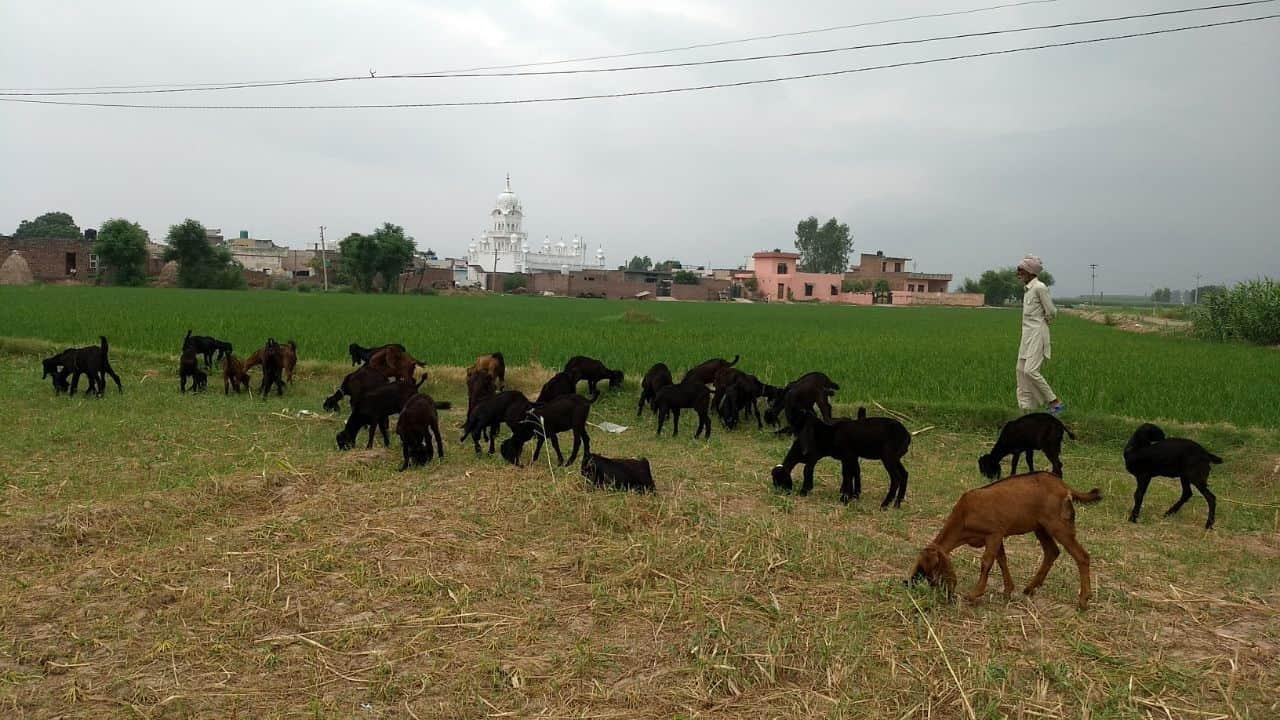 Metro Goat Farm, village jhajon - Goat Farming in Chandigarh