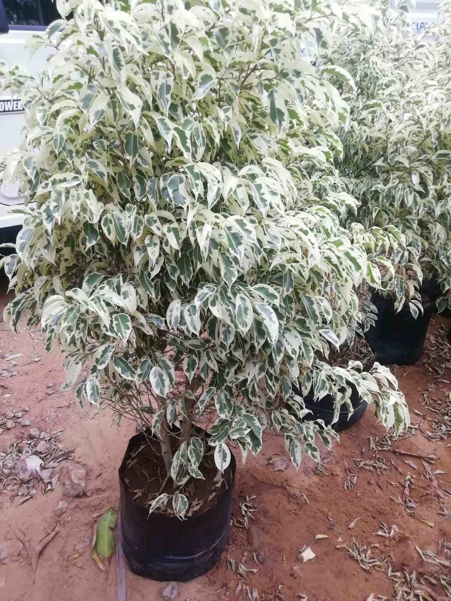 Bonsai Tree Amman