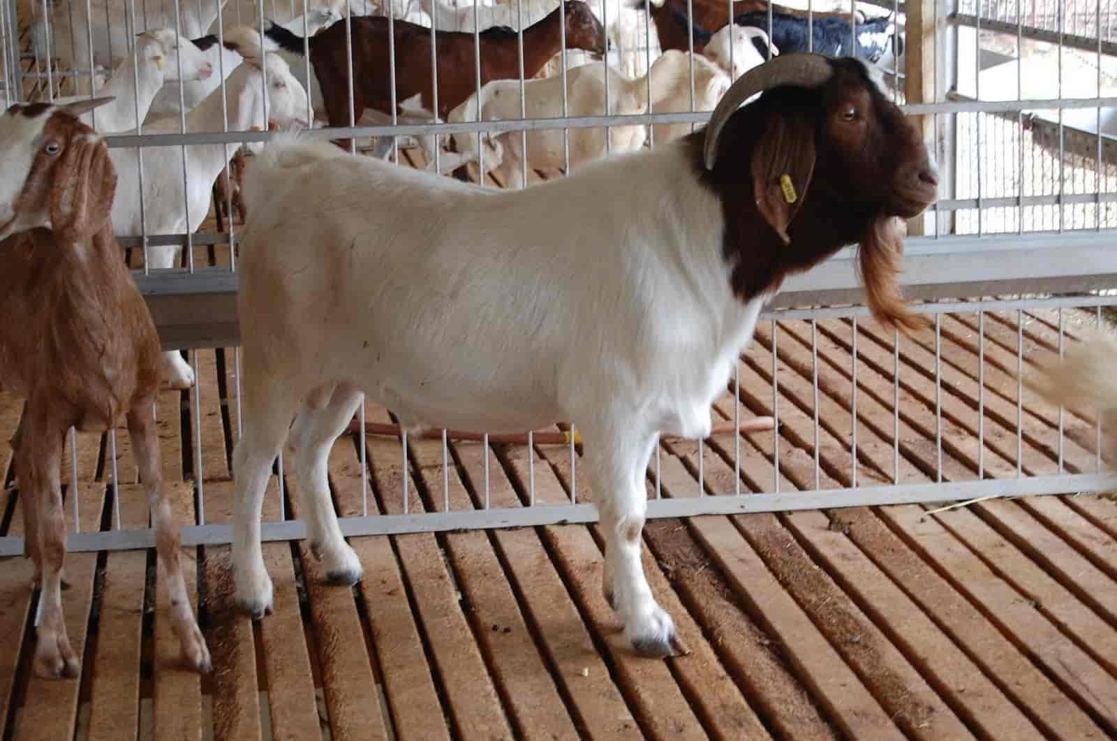 Veera Goat Farm, Vedasandur - Goat Farming in Dindigul