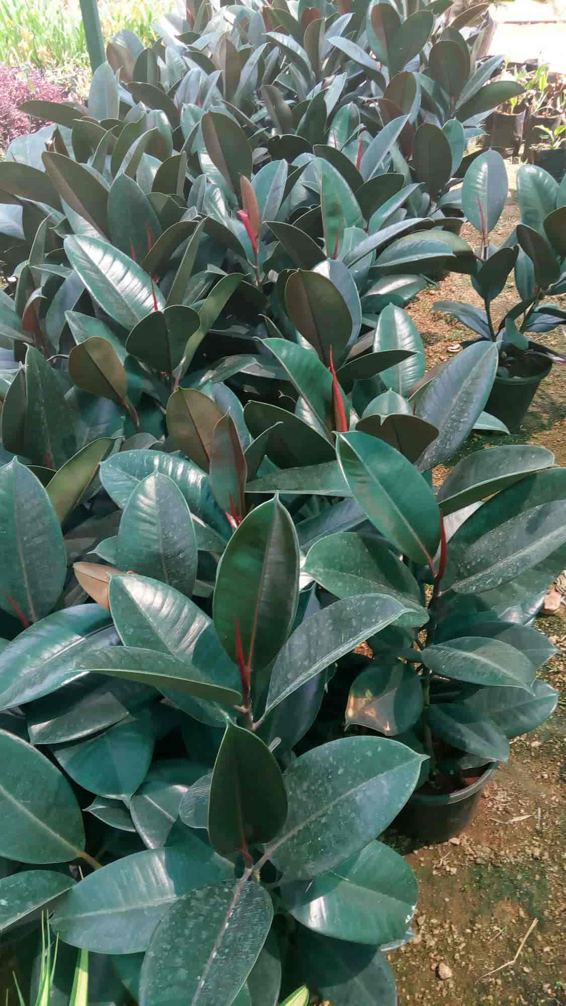 Hersingaar Nursery, Kismatpura - Plant Nurseries in