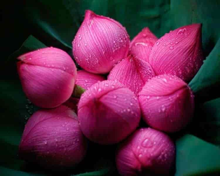 Lotus Flowers, Gudi Malkapur - Flower Decorators in Hyderabad ...