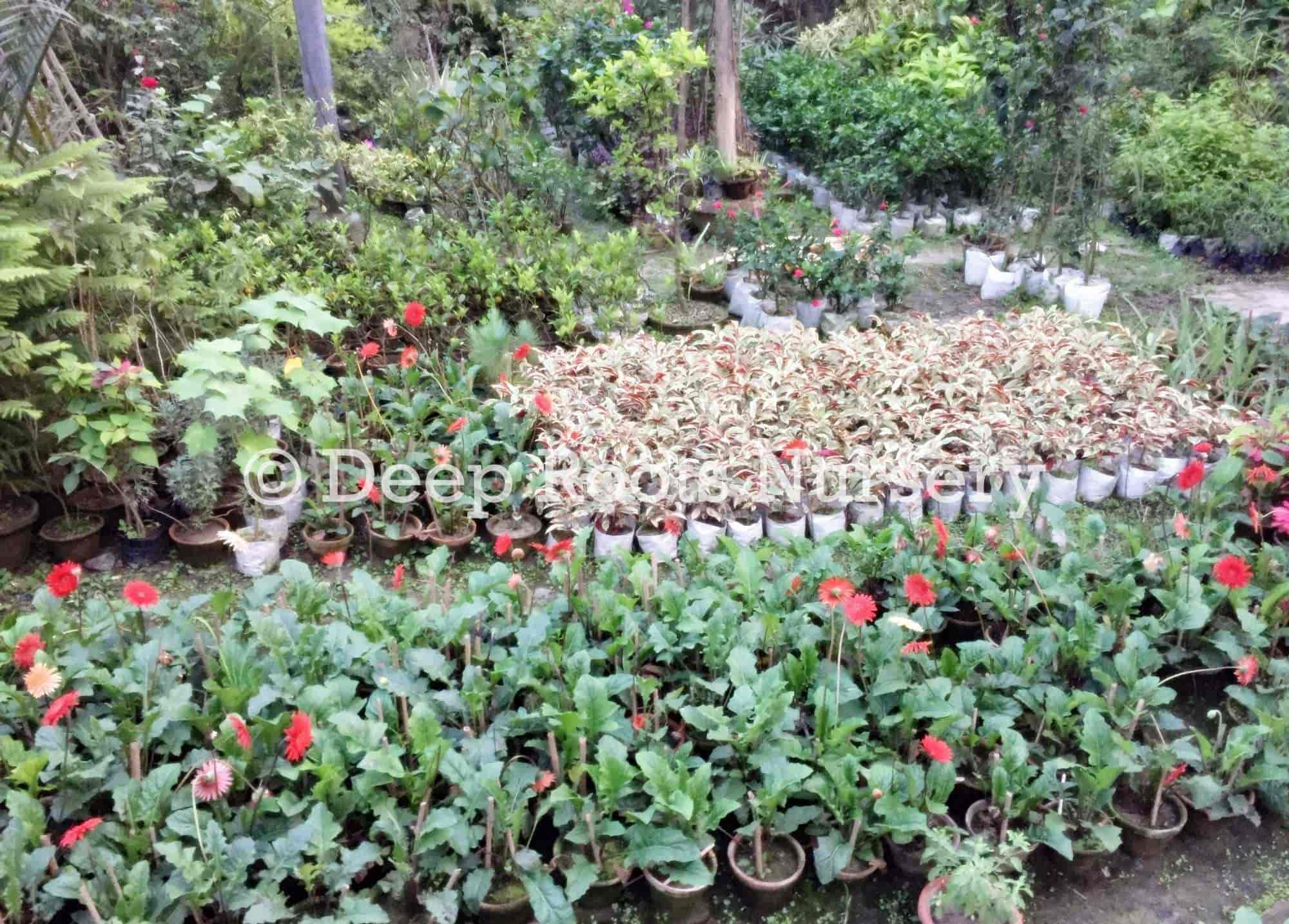 Deep Roots Nursery Bansdroni Lawn Gr Dealers In