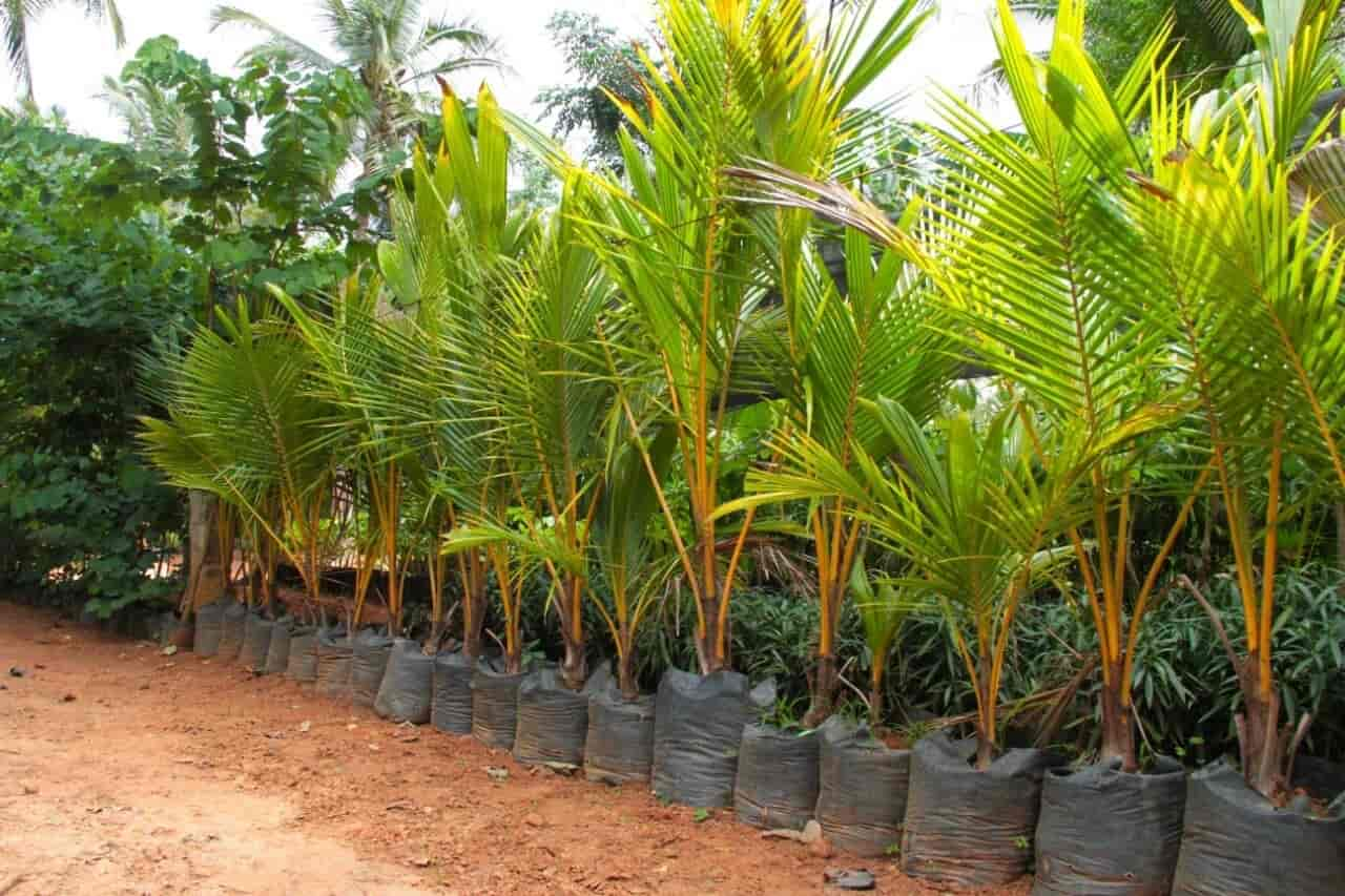 Muthu Nursery Garden, Pattur - Plant Nurseries in Madurai