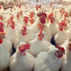 Nagar Poultry Farm, Greater Noida - Poultry Farms in Noida