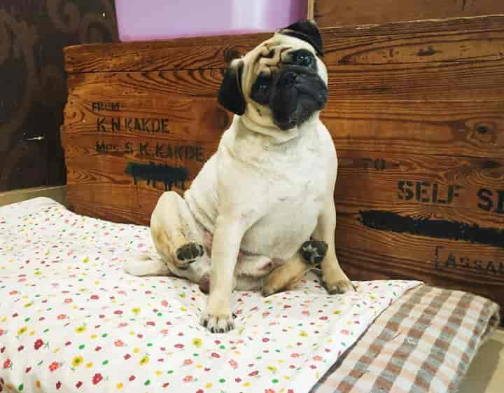 4 PAWS Dog Hostel and Cattery, Balewadi-Baner - Pet Shops in Pune