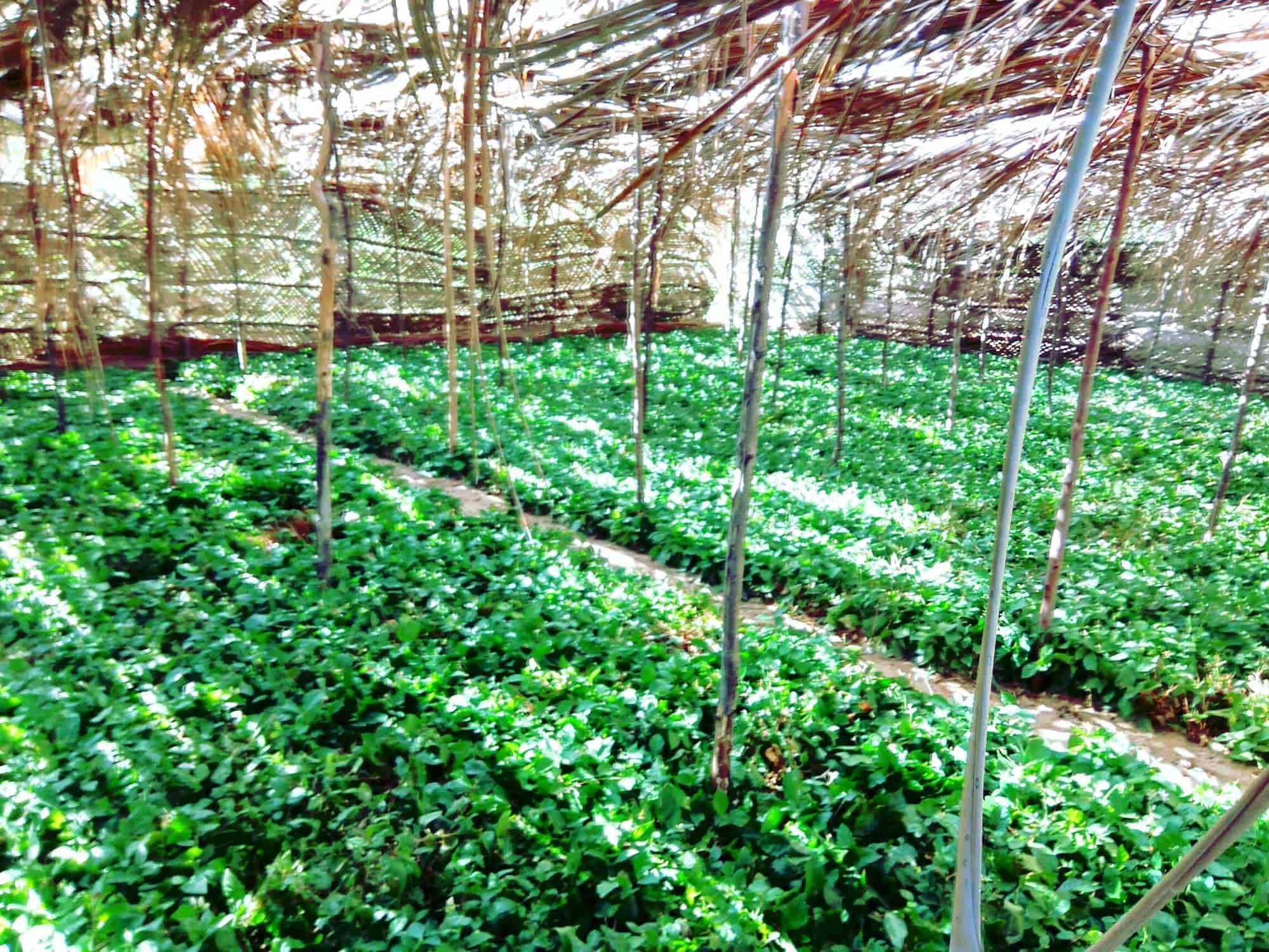 Ars Jasmine Nursery Thangachimadam Plant Nurseries In Rameswaram