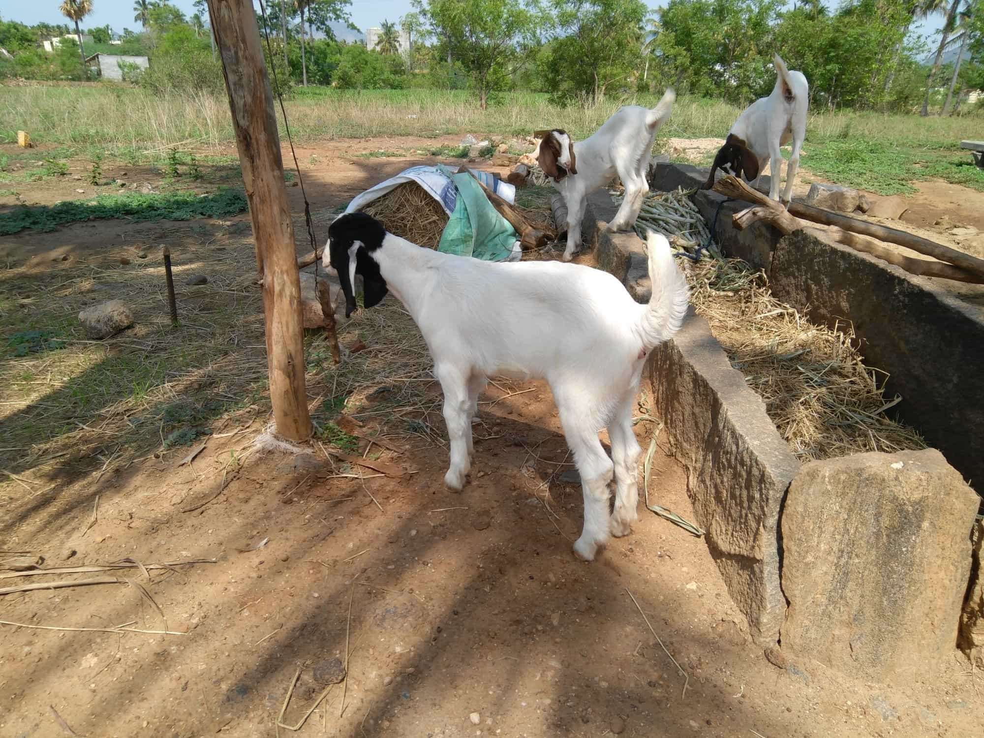 Salem Goat Farms, ARIYANUR - Goat Farming in Salem - Justdial