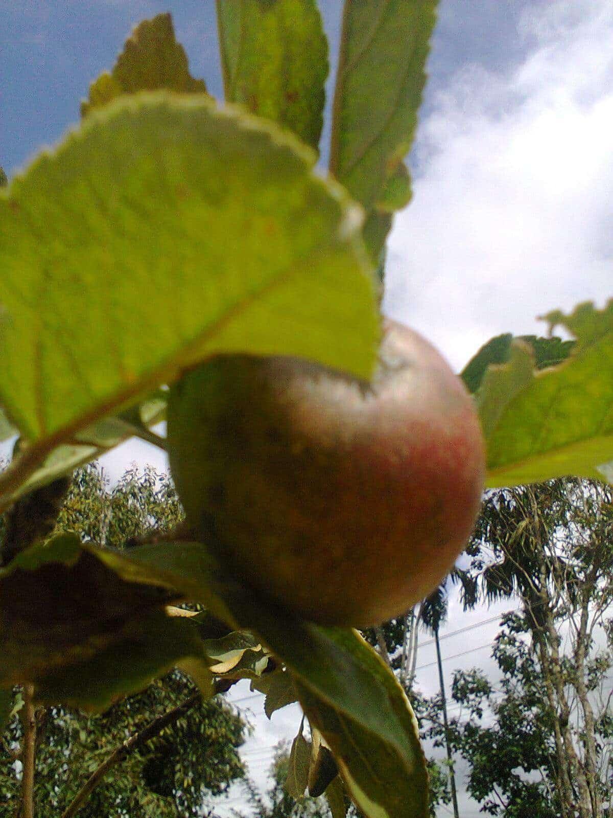 Garden Fresh Apple Nursery Photos, Panamaram, Wayanad- Pictures ...